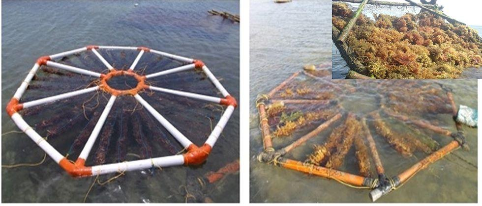 New techniques for the production of seaweed. (Photo source: CSI)