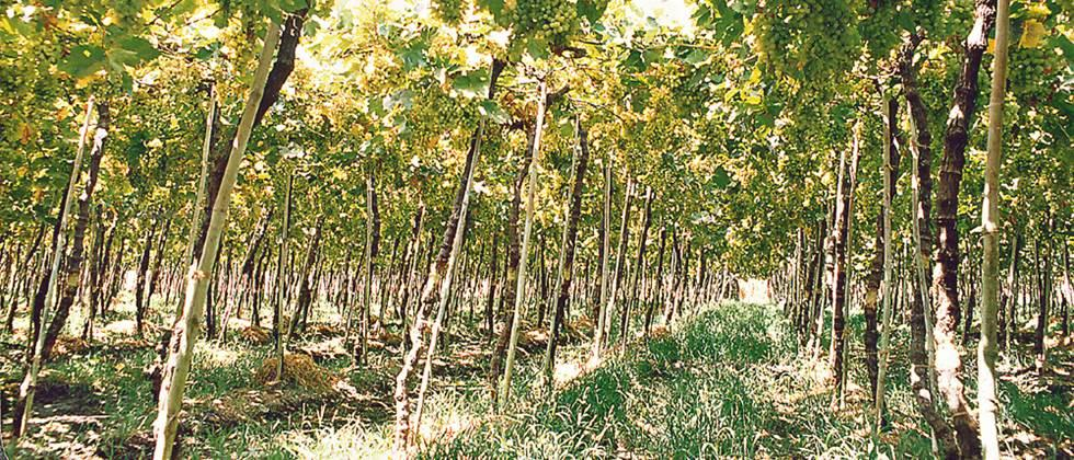 'Robbing grape growers Will teach traders a lesson '