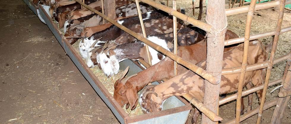 Adequate feed should be given for the growth of goats.