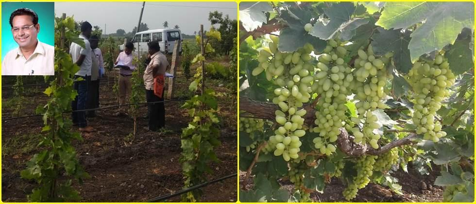Agriculture officer while giving information about new grape cultivation