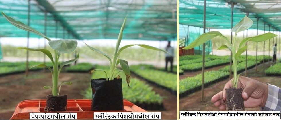 Differences between seedlings in paperpots and plastic bags