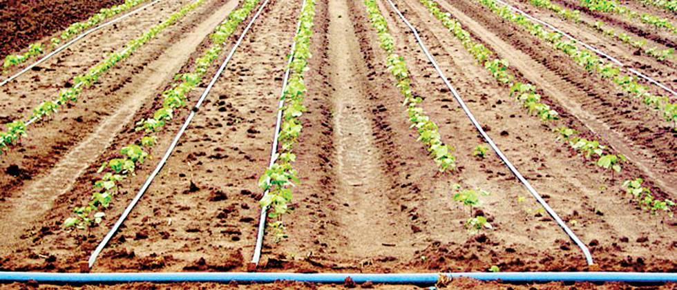 Drip irrigation provides water as per the requirement of the crop.