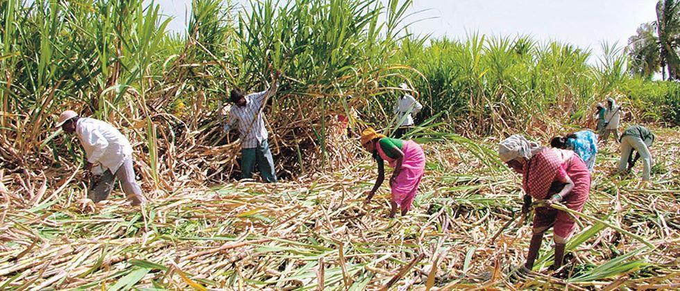 sugarcane cutting workers return to home