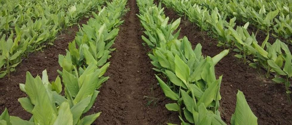 management of turmeric crop
