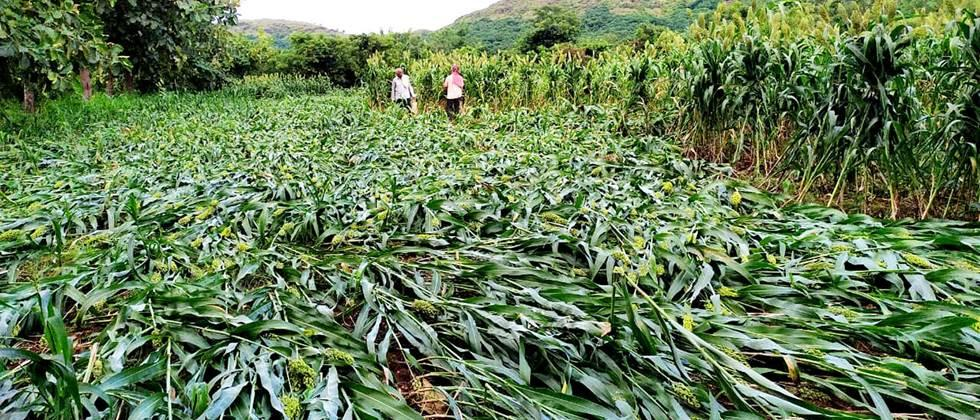 crops damage due to rain