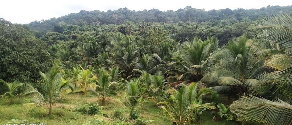 coconut plantation on hill side area