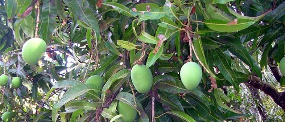 Climate change is having an impact on hapus mango production
