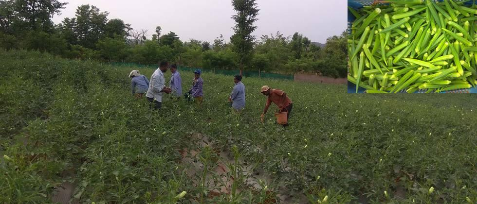 Okra cultivation by women's group at Kushiwade.