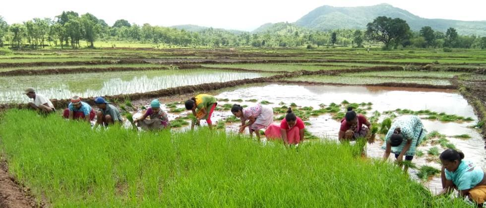 Paddy cultivation in Pune district in final stage
