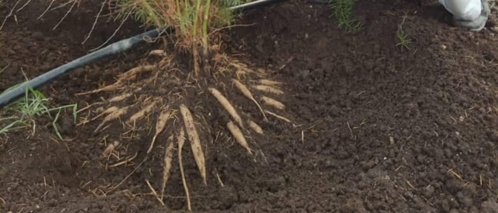 Asparagus experiment in 1 acre with sugarcane cultivation in Naigaon