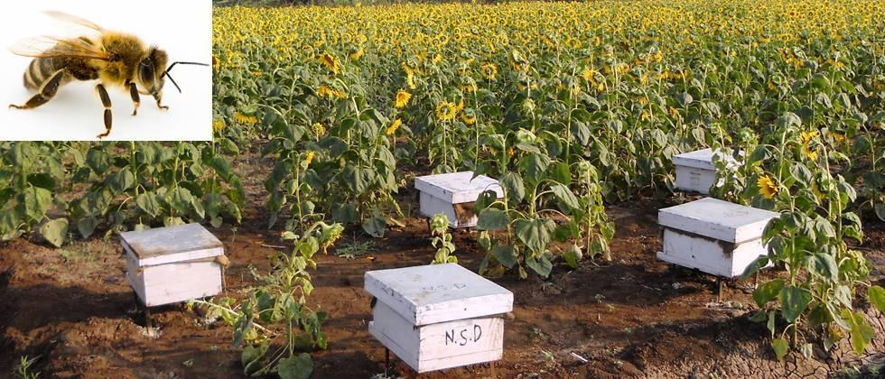 Beekeeping helps in pollination also provides other by-products.