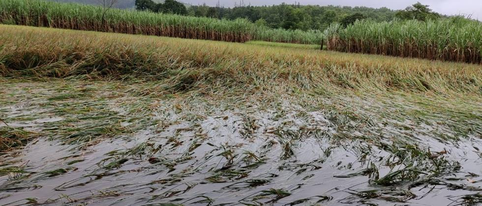 Loss of thousands of hectares of crops in Kolhapur district