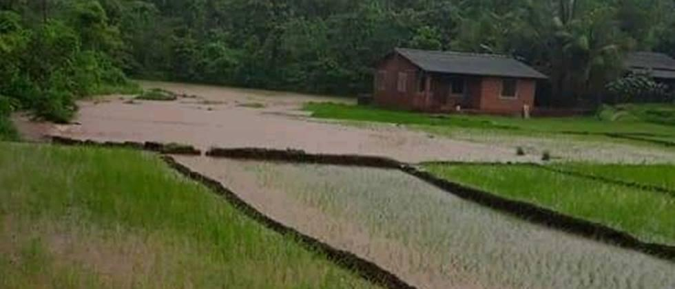 Damage to paddy crop on 800 hectares due to heavy rains in Sindhudurg district