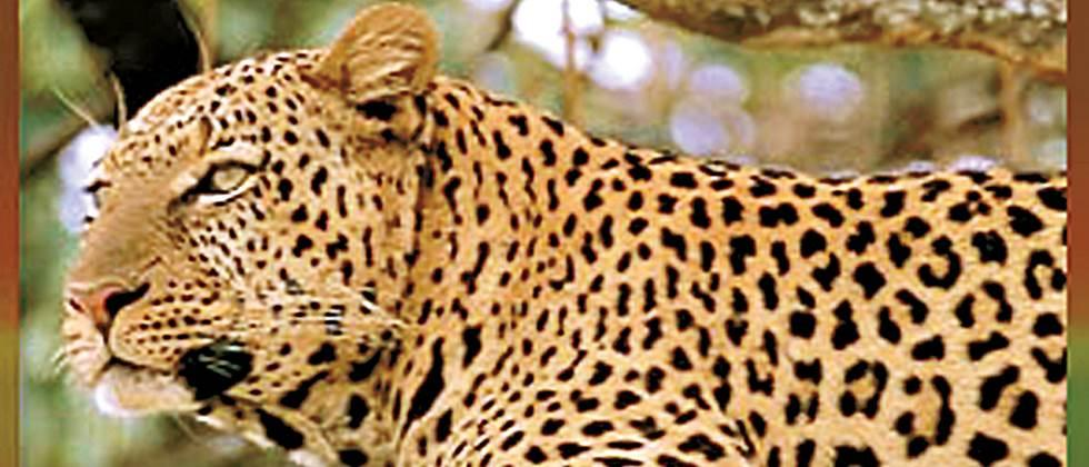 Special squads follow the man-eating leopard