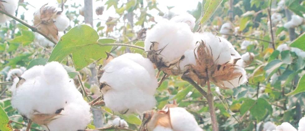 In Madhya Pradesh, the price of cotton is Rs 5500