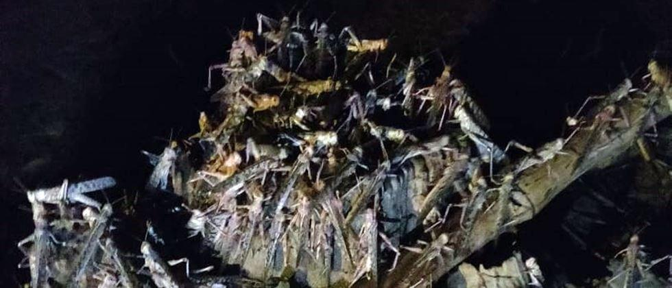 Unrest in Vidarbha due to the existence of locusts