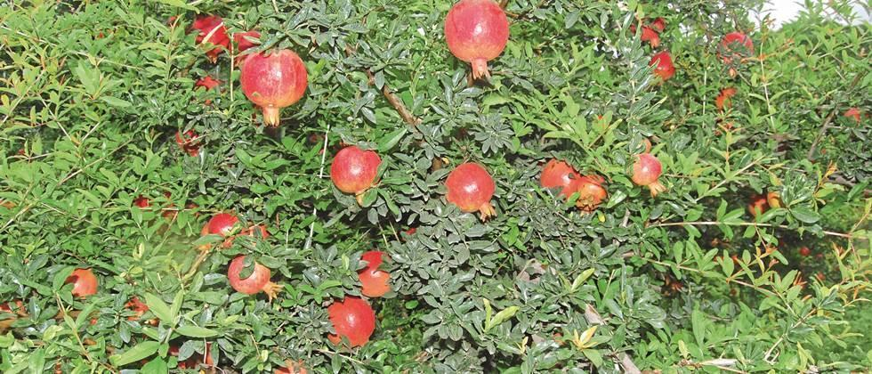 Pomegranate breaks from 'Rohio' in Sangli