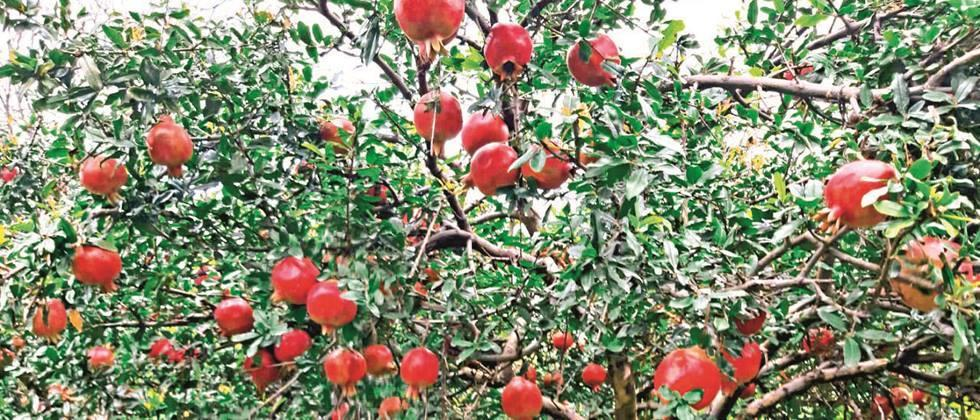 Fruit crop insurance scheme implemented in Parbhani district