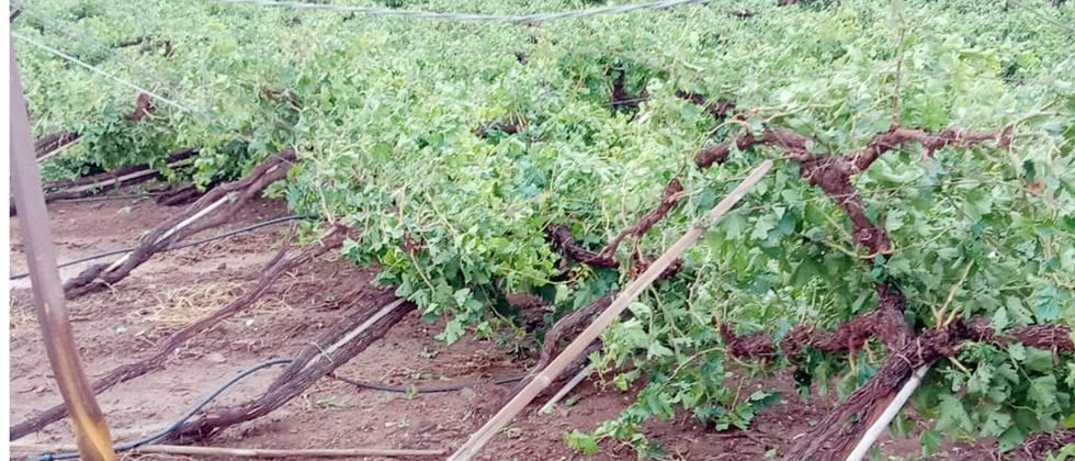 Grapes and pomegranates in Partur taluka were excluded from compensation