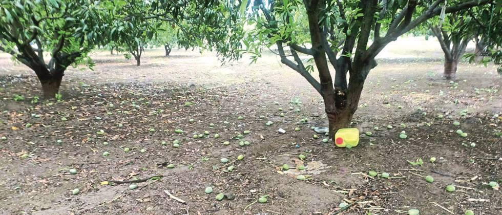 Orchards hit in five districts of Marathwada
