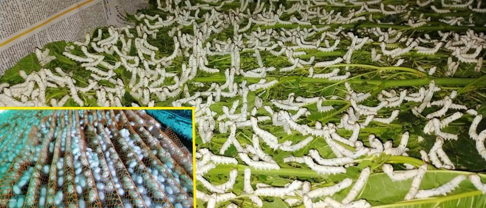 silkworms and Quality silk cocoons production