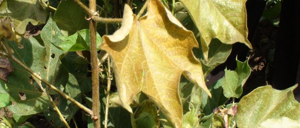 thrips, white fly in cotton
