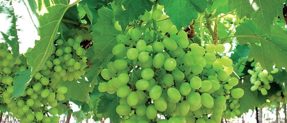Cloudy weather threatens grape growers