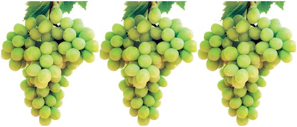 Export of 18,000 tons of grapes from Saganli district