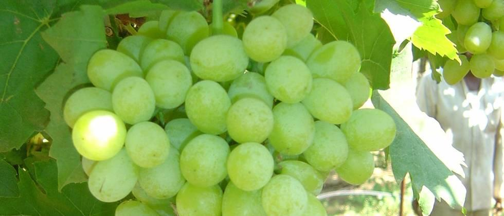 Grape growers are waiting for crop insurance refunds
