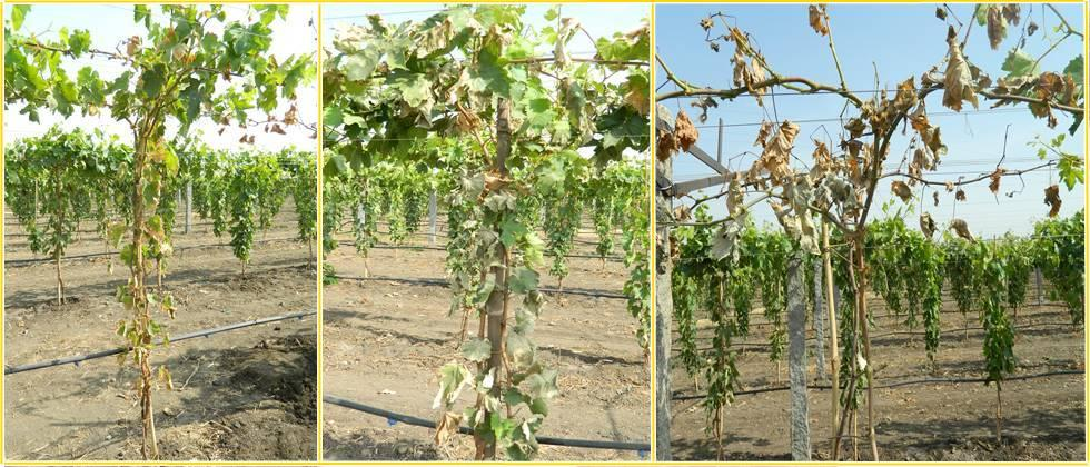 stages of vine begins to dry in first second and third day