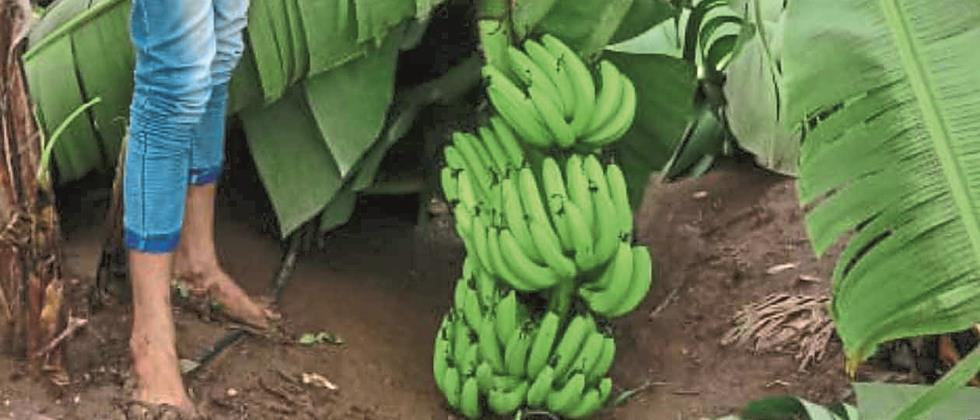 Bananas cost Rs 550 to Rs 1,500 per quintal in the state