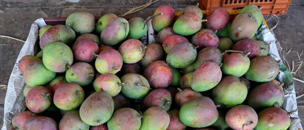 In Aurangabad, Lalbaug mango is available at 8000 to 10000 rupees per quintal