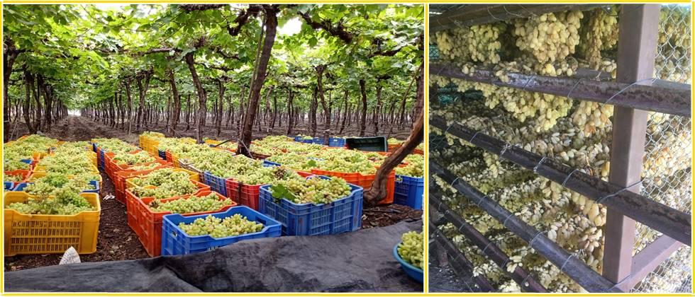 Quality grapes ready for sale and they also planned to make raisins from the remaining grapes and sell them directly
