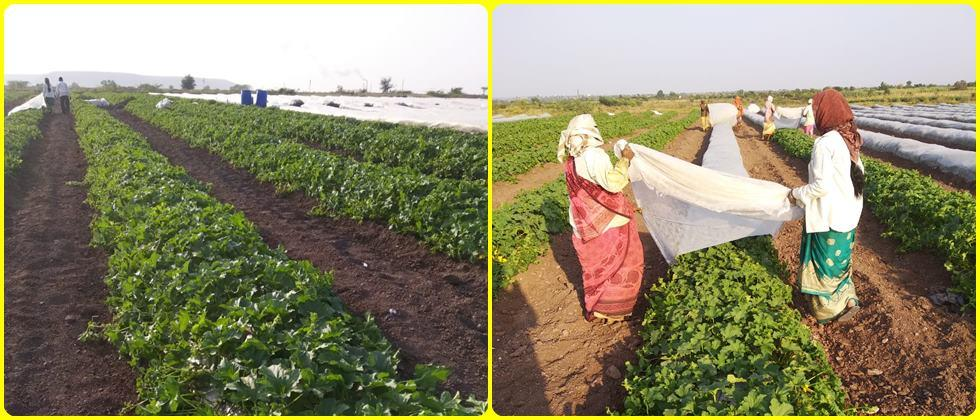 The use of 'crop cover' in melons.
