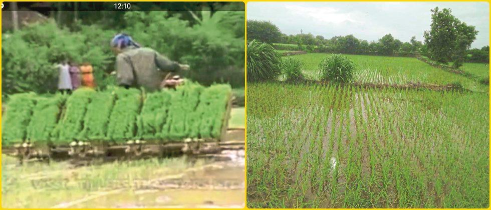 cultivation of paddy by using mechanical method