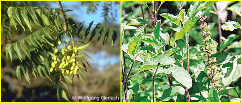 Neem, Karanj is useful for dermatitis