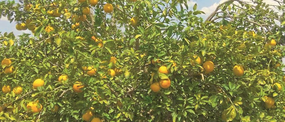 In Ambad, the fruit is on the tree without sale