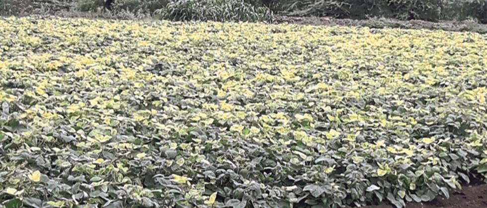 Rain to cereal crops Wait; Farmers worried