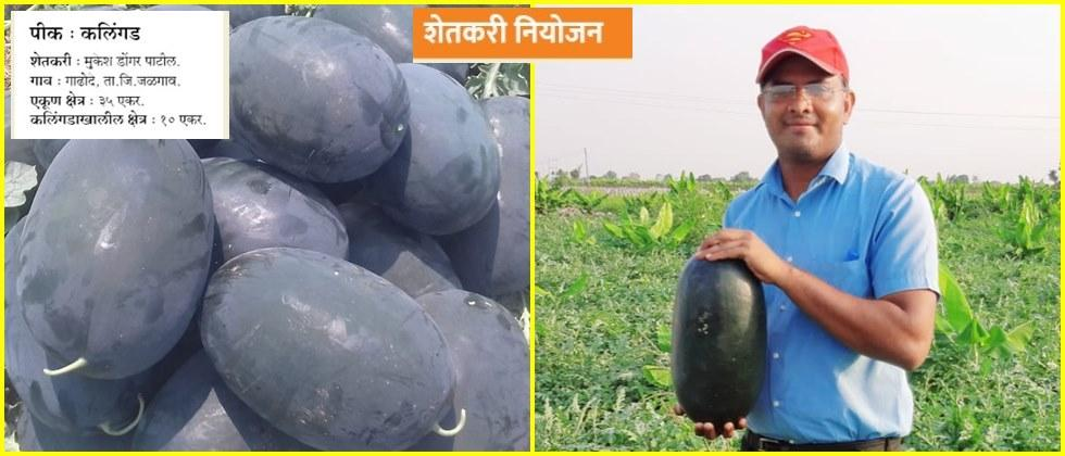 Mukesh Patil showing quality watermelon in his garden