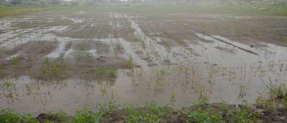 Soybeans and green gram were hit by heavy rains in Pangri