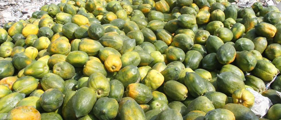 give the price 11 rupees per kg to papaya, demand farmers in Nandurbar