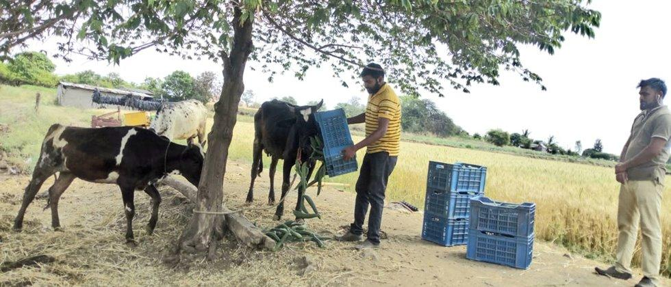 At Nagalwadi, vegetable fodder was harvested