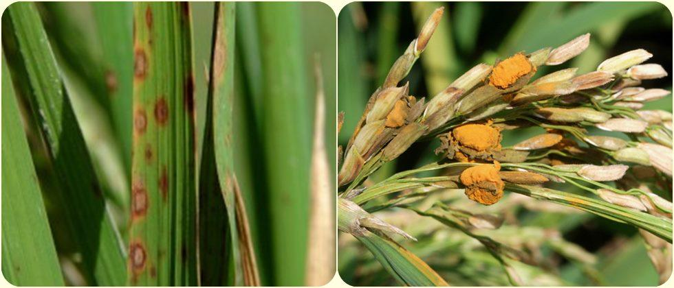 Integrated management of diseases on paddy