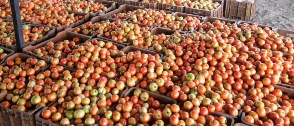 Growth of tomatoes in Kolhapur