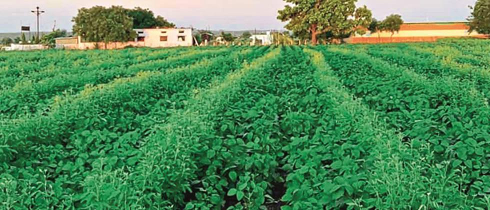 Intercropping of tur in soybeans