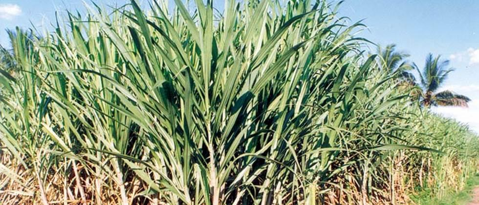 Solve the first installment of sugarcane