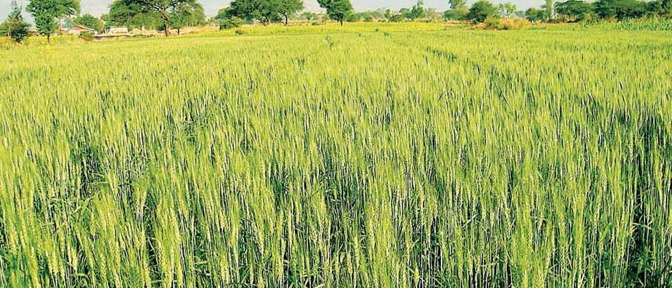 Wheat sowing possible on 31,000 hectares in Khandesh