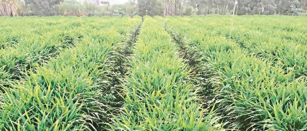 Ginger crop area increased in Satara district