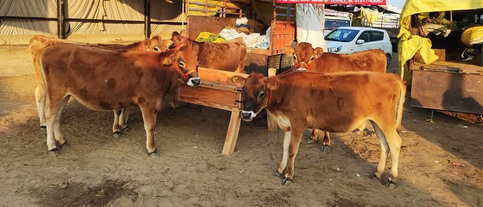 jersey breed of cow