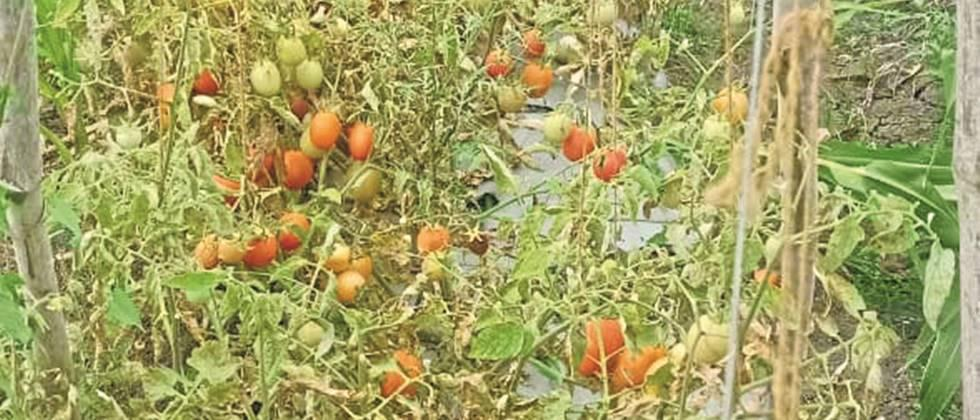 Tomatoes can not be harvested